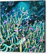Anthias Fish In Coral Canvas Print