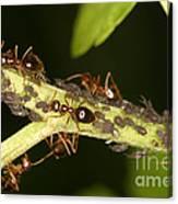 Ants Tending Aphids Canvas Print