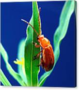 Aphthona Flava Flea Beetle On Leafy Canvas Print