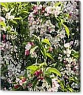 Apple Blossom (malus 'pom Zai') Canvas Print