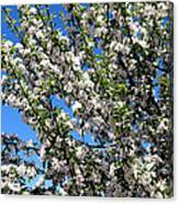Apple Tree In Bloom Canvas Print