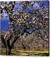 Apple Trees In An Orchard, County Canvas Print
