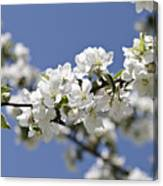 Apple Trees In Full Bloom Canvas Print