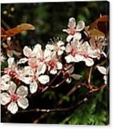 April Plum Blossom Canvas Print