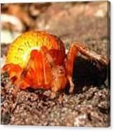 Araneus Marmoeus Canvas Print