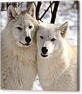Arctic Wolves Close Together In Winter Canvas Print