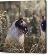 Are You Dreaming About Me - Siamese Feral Cat Canvas Print