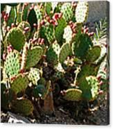 Arizona Prickly Pear Cactus Canvas Print
