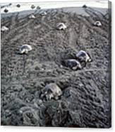 Arribada Of Olive Ridley Turtles, Costa Canvas Print