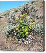 Arrowleaf Balsamroot Canvas Print