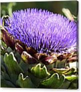 Artichoke Flower  Canvas Print