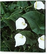 Arum Lily (zantedeschia Aethiopica) Canvas Print