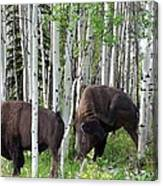 Aspen Bison Canvas Print