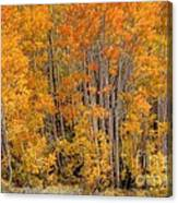 Aspen Forest In Fall - Wasatch Mountains - Utah Canvas Print