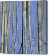 Aspen Poplar Trees Reflected In Spring Canvas Print