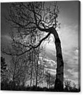Aspen Silhouette Canvas Print