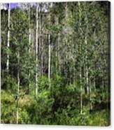 Aspen Trees - Vail Canvas Print