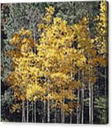 Aspens In Color Canvas Print