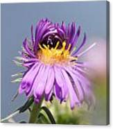 Asters Starting To Bloom Canvas Print