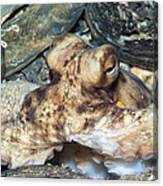 Atlantic Octopus In Shell Debris Canvas Print