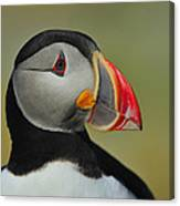 Atlantic Puffin Portrait Canvas Print
