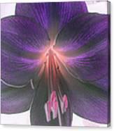 Aubergine Amaryllis Canvas Print