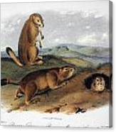 Audubon: Prairie Dog, 1844 Canvas Print