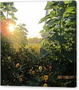 August Sunrise In The Garden Canvas Print