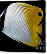 Auriga Butterfly Fish Canvas Print
