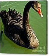 Australian Black Swan Canvas Print