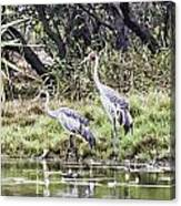 Australian Cranes At The Billabong Canvas Print