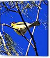 Australian Figbird Canvas Print