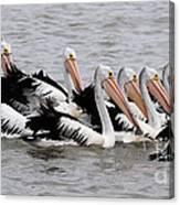 Australian Pelicans Canvas Print