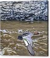 Australian Wood Duck In Flight Canvas Print