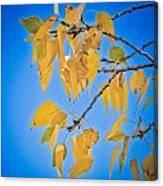 Autumn Aspen Leaves And Blue Sky Canvas Print
