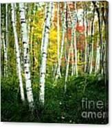 Autumn Birch Grove Canvas Print
