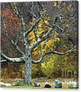 Autumn Grandfather Tree 2 Canvas Print