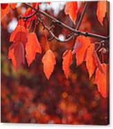 Autumn Leaves In Medford Canvas Print