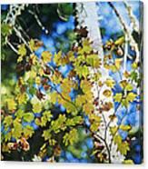 Autumn Maple Canvas Print