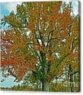 Autumn Sweetgum Tree Canvas Print