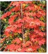 Autumnal Acer Canvas Print