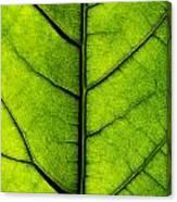 Avocado Leaf 2 Canvas Print