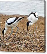Avocets At Nest Canvas Print