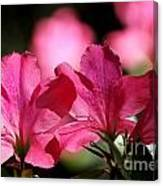 Azalea Blossoms Canvas Print