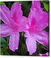Azalea's In Spring Rain #1 Canvas Print