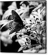 B N W Butterfly Canvas Print