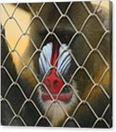 Baboon Behind Bars Canvas Print
