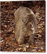 Baby Canada Lynx Stalking A Squirrel Canvas Print