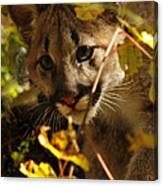 Baby Cougar Playing Peek A Boo In Autumn Forest Canvas Print