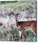 Baby Deer At Viera Canvas Print